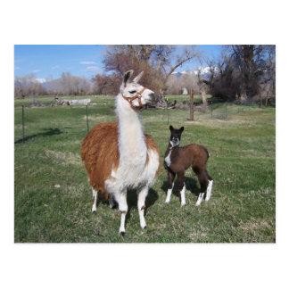 Mamá del lama y bebé de la llama postales