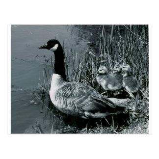 Mamá Goose y gansos del bebé Postal