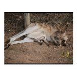 Mama Kangaroo with Joey in Pouch Postcard