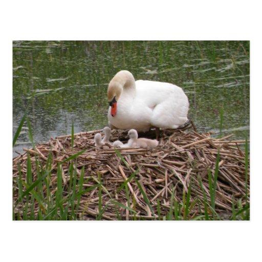 Mama Swan and Babies Postcard
