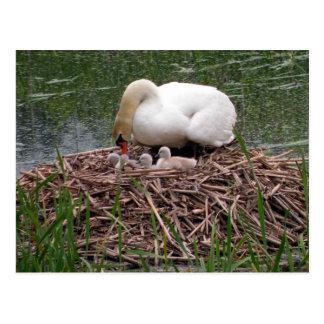 Mama Swan Tending to Cygnets Postcard (2)
