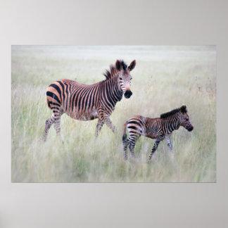 Mamá y bebé de la cebra impresiones