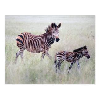 Mamá y bebé de la cebra postales