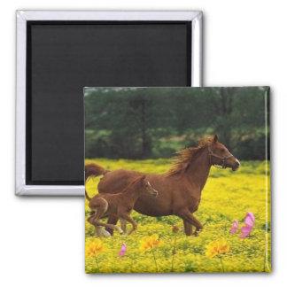 mamá y bebé del caballo imán cuadrado