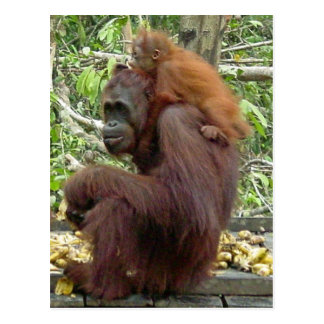 Mamá y bebé del orangután tarjeta postal