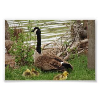 Mamá y bebés del ganso cojinete