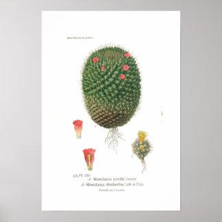 Mamillaria species poster