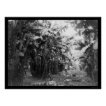 Man Standing in a Banana Tree Grove in Cuba 1917 Poster