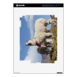 Manada adornada en el Puna, montañas del lama de l iPad 3 Skin