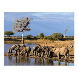 Manada africana del elefante de Bush (Loxodonta Postal