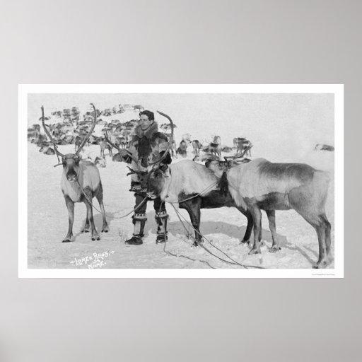 Manada Alaska 1909 del reno Póster