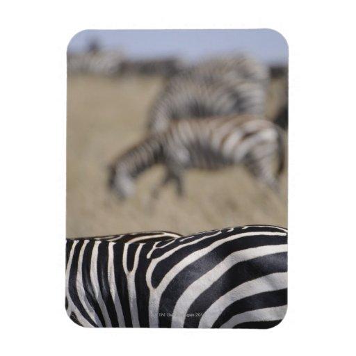 Manada de las cebras que pastan, reserva del juego imán rectangular