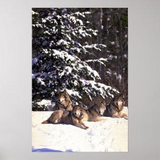 Manada de lobos en el borde de maderas nevosas poster