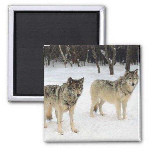 Manada de lobos imanes