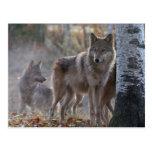 Manada de lobos postal