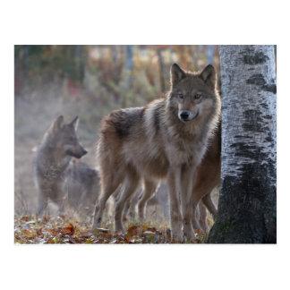 Manada de lobos tarjeta postal