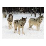 Manada de lobos tarjetas postales