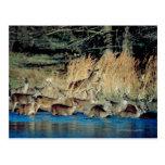 Manada de los ciervos 2 tarjeta postal