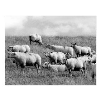 Manada de ovejas tarjeta postal