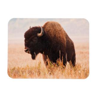 Manada del bisonte americano (bisonte del bisonte) rectangle magnet