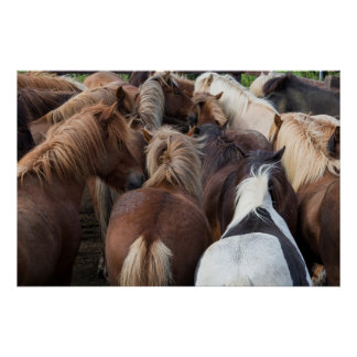Manada del caballo islandés póster