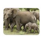 Manada del elefante africano, africana del Loxodon Iman Flexible