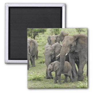 Manada del elefante africano, africana del Loxodon Imán Cuadrado