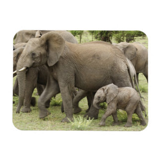 Manada del elefante africano, africana del Loxodon Imán Foto Rectangular