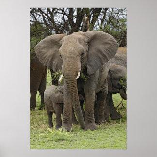 Manada del elefante africano, africana del Loxodon Posters