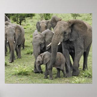 Manada del elefante africano, africana del Loxodon Póster