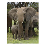 Manada del elefante africano, africana del Loxodon Tarjeta Postal