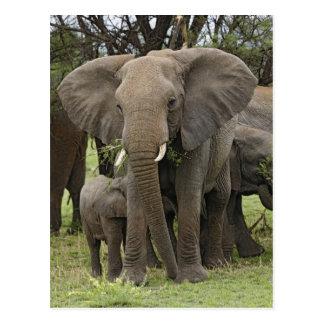 Manada del elefante africano, africana del postal