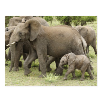 Manada del elefante africano, africana del tarjeta postal