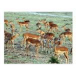 manada del gazelle de la concesión postales