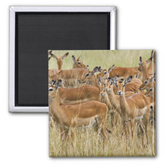 Manada del impala femenino, Masai Mara, Kenia Imán Cuadrado