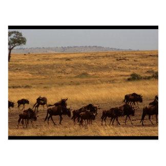 Manada del Wildebeest Tarjeta Postal