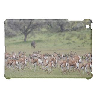 manada grande de Springbock, marsupiales del Antid