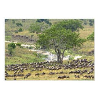 Manada masiva del Wildebeest durante la migración, Fotografía