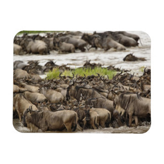 Manada masiva del Wildebeest durante la migración, Imán