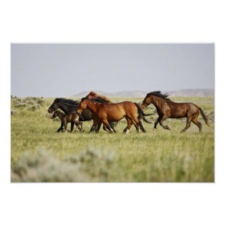 Manada salvaje del caballus del Equus del caballo) Posters