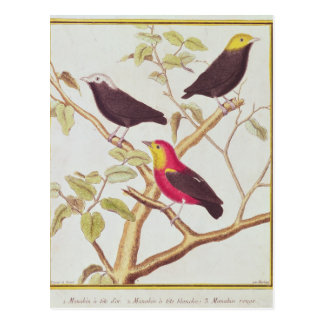 Manakins Postcard