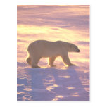 Mañana 3 del oso polar tarjetas postales
