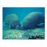 Manatee Rooting in Sand Post Cards