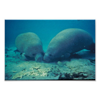 Manatee Rooting in Sand Poster