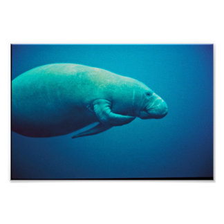 Manatee Scratching Posters