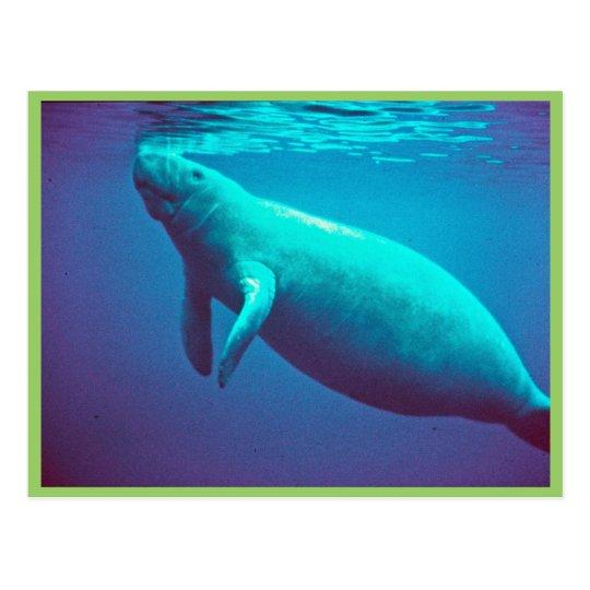 Manatee Surfacing to Breathe Postcard