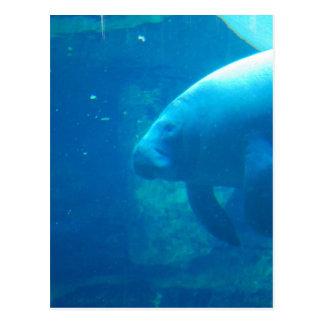 Manatee Underwater Postcards