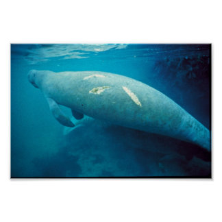 Manatee with Scar Posters
