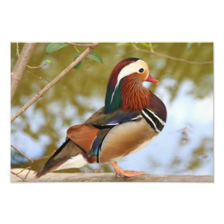 Mandarin Duck Photo Print