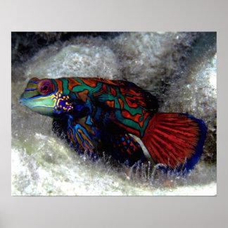 Mandarin Fish Poster